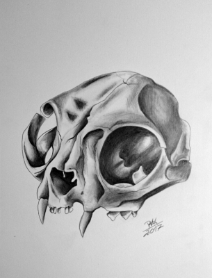 skull of cat